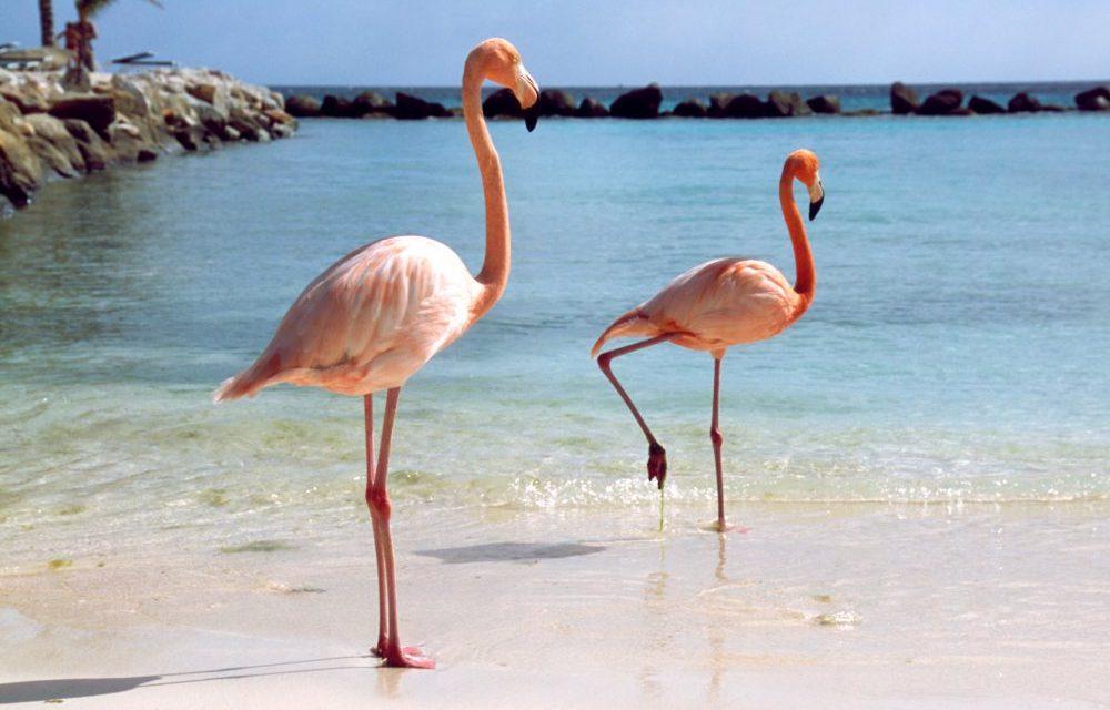 Flamingo's spotten @ Aruba | complete 8-daagse zonvakantie