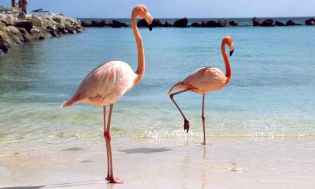 Flamingo's spotten @ Aruba   complete 8-daagse zonvakantie