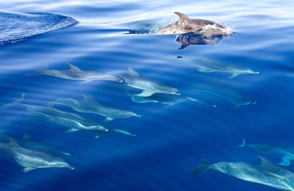 Dolfijnen spotten tijdens een excursie op Gran Canaria